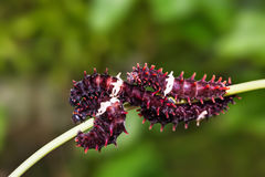 Гусеницы aristolochiae Pachliopta общего розовые стоковое изображение rf