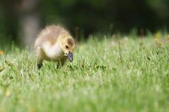 Гусенок гусыни Канады идя на траву Стоковая Фотография RF