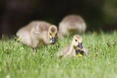 Гусенок гусыни Канады идя на траву Стоковые Изображения RF