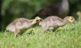 Гусенок гусыни Канады идя на траву Стоковая Фотография