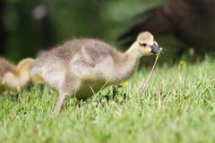 Гусенок гусыни Канады идя на траву Стоковые Фото