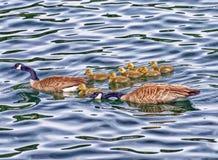 гусенок гусыни Канады Стоковые Изображения RF