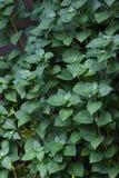густолиственное предпосылки зеленое Стоковая Фотография RF