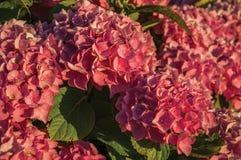 Густолиственный куст с красочными цветками гортензии на заходе солнца стоковые изображения