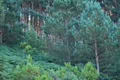 Густолиственный лес евкалипта в горах Галиции Ландшафт перемещения ботанический Стоковые Изображения RF