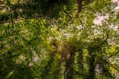 Густолиственный лес canapy Стоковая Фотография RF