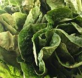 густолиственный салат Стоковая Фотография