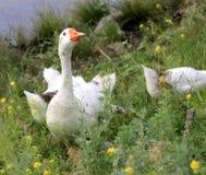 Гусына в траве стоковое фото rf