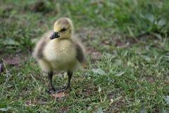 гусына Канады младенца Стоковое Фото