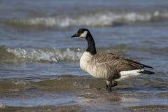 Гусына Канады на пляже Стоковая Фотография