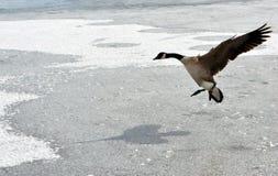 Гусына Канады Стоковая Фотография RF