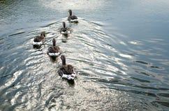 Гусына на озере Стоковые Фото