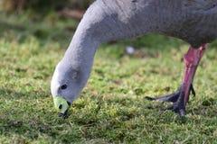 Гусына плащи-накидк неурожайная Стоковое Фото