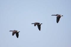 гусына полета canadensis Канады branta Стоковые Фотографии RF
