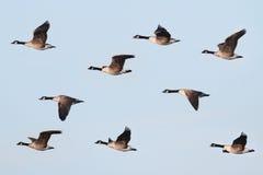 гусына полета canadensis Канады branta Стоковые Изображения