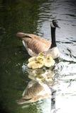 гусына семьи Стоковое фото RF