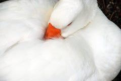 Гусына спать стоковое фото