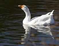 гусына усмедется белизна воды Стоковые Фото