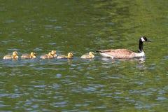 гусына canadensis Канады branta младенцев Стоковая Фотография