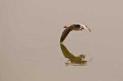 Гусына Greylag в полете Стоковая Фотография RF