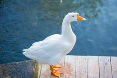гусыни белые Стоковое Фото