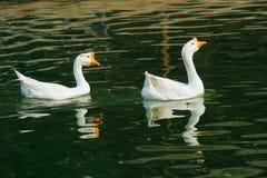 гусыни белые Стоковые Изображения