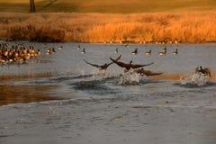 Гусыни выходя вода в свет Стоковые Фотографии RF