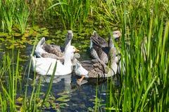 Гусыни в болотистом пруде Стоковые Изображения