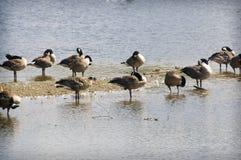 Гусыни в воде Стоковые Фото