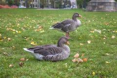 Гусыни в городском парке Стоковые Изображения RF