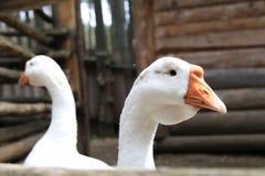 Гусыни в дворе - белая птица на ферме Стоковые Изображения