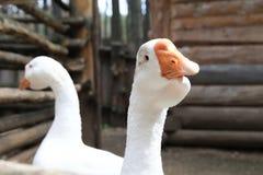 Гусыни в дворе - белая птица на ферме Стоковое фото RF