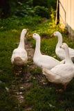 Гусыни в деревне идут на лужайку Стоковая Фотография RF