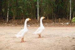 2 гусыни в деревне Стоковая Фотография RF