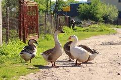 Гусыни в деревне Стоковые Фото