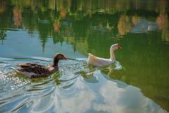 2 гусыни в заплывании Стоковые Изображения