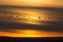Гусыни в заходе солнца полета Стоковые Фото