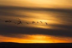 Гусыни в заходе солнца полета Стоковая Фотография RF