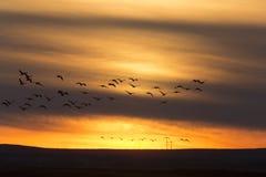 Гусыни в заходе солнца полета Стоковые Фотографии RF