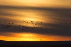 Гусыни в заходе солнца полета Стоковые Изображения
