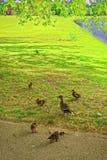 Гусыни в зеленом парке дома конца Audley в Essex Стоковое Фото