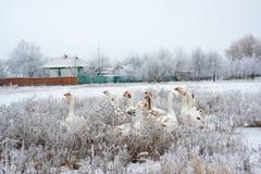 Гусыни в зиме в деревне Стоковые Изображения