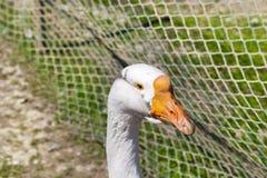 Гусыни в зоопарке Стоковое Изображение