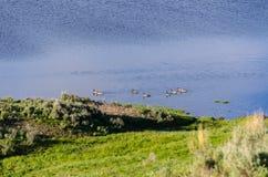 Гусыни в Йеллоустоне Стоковые Фото