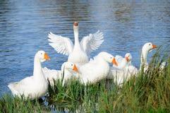 Гусыни в озере берегом Стоковые Изображения