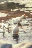 Гусыни в озере в парке Dua Nusa, острова Бали, Индонезии Стоковая Фотография