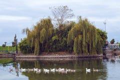 Гусыни в озере Стоковые Изображения RF