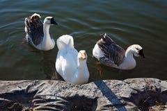 3 гусыни в озере Стоковые Фотографии RF