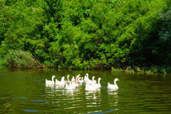 Гусыни в озере Skadar Стоковые Фотографии RF
