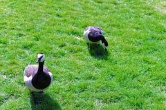 Гусыни в парке в Замке Лидс в Кенте Великобритании Стоковая Фотография